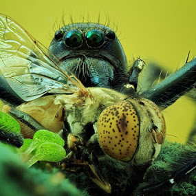 spider and its prey by Shikhei Goh II - Animals Insects & Spiders