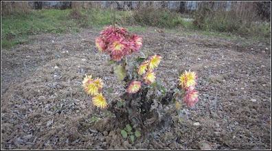 Photo: Crizanteme, in prag de  Craciun de pe Str. Rapsodiei, spatiu verde, inca verde,  la bloc  - 2017.12.19