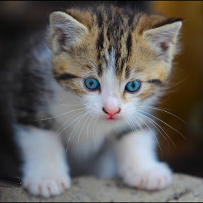 Blue Eye Kitty by John Greene - Animals - Cats Kittens ( cat, kitten, lovely, adorable, cute, kitty )