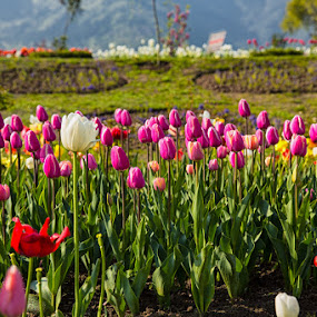 Colourful Tulips by Ajay Sood - Nature Up Close Gardens & Produce ( pwcflowergarden, ajay, sood, kashmir, travelure, tulips, travel, flowers, colours )