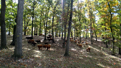Photo: Herd heading through woods to new pasture with the noon sunshine filtering through