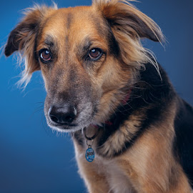Zed by Phil Anderson - Animals - Dogs Portraits ( fujifilm, medium format, gfx, dog, profoto )