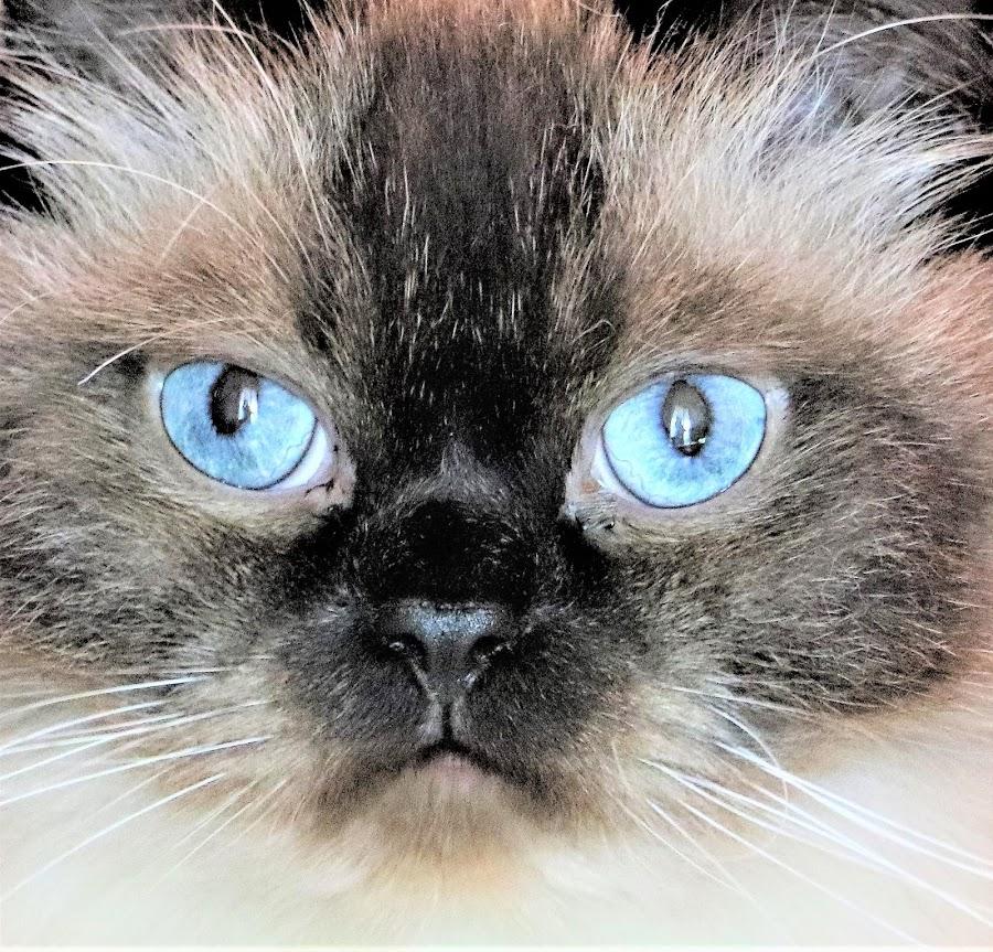 Jack by Linda    L Tatler - Animals - Cats Portraits (  )