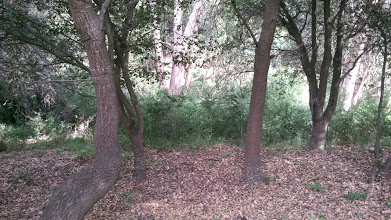 Photo: Looking at the eucalyptus grove from the native stand of oak right next to it.
