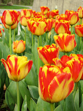 Photo: Flaming red and gold tulips at Wegerzyn Gardens in Dayton, Ohio.