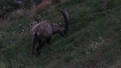 Photo: Koziorożec alpejski