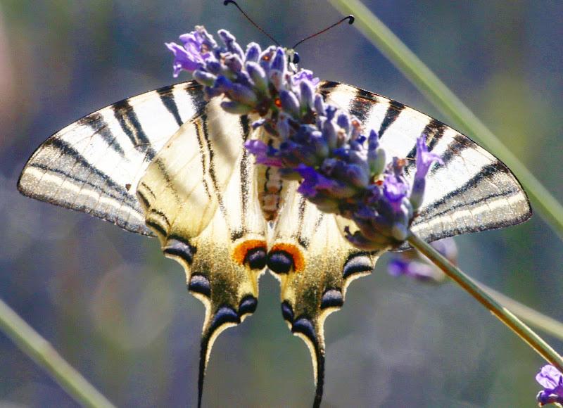 """""""La farfalla non conta i mesi ma i momenti e ha tempo a sufficienza.""""  di Giannigiansanti"""