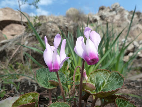 Photo: I will leave it to the botanists to identify these beautiful flowers growing along the path to Gamla.