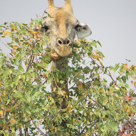 Hungry by Johan Henning - Novices Only Wildlife ( tree, head, hungry )