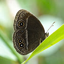 Plain Bushbrown