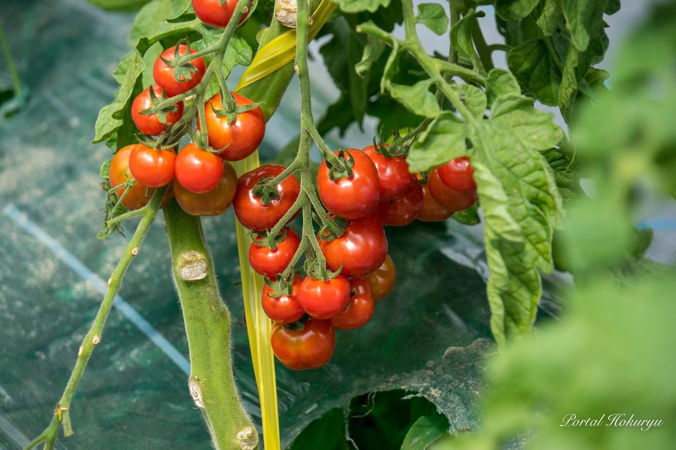 真っ赤に熟したミニトマト「プチぷよ」