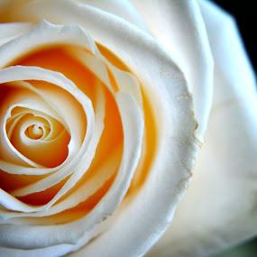 Enfolded by Chandal Chenier - Flowers Flower Arangements ( vase, rose, dark, light )