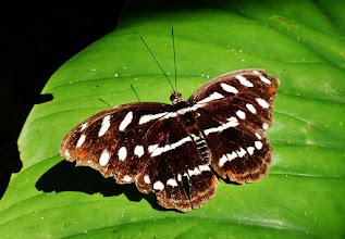 Photo: Dem Aussehen nach müsste es der Athyma pravara (engl. Lance Sergeant) sein,  wenn der auch im tropischen Asien beheimatet ist.