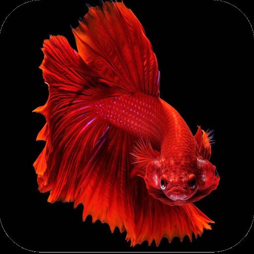 Betta Fish Wallpapers 4k Aplikasi Di Google Play