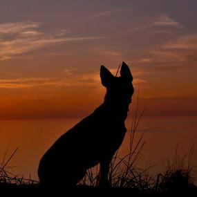 by Mandy Schram - Animals - Dogs Portraits (  )