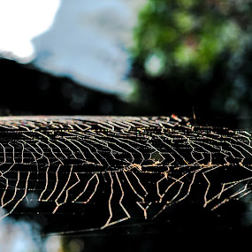 Golden Strings by Gowri Shankar - Nature Up Close Webs ( nature, web. light, gold, close up )