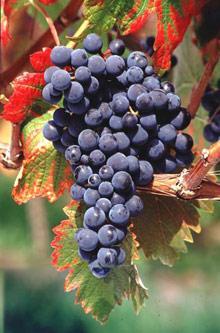 "Картинки по запросу ""виноград монарх винный"""