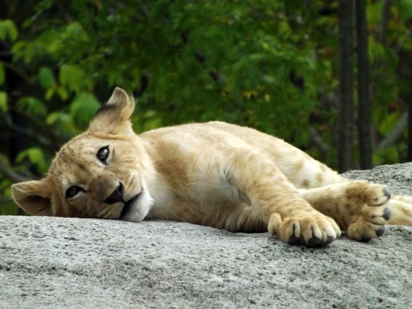 Lionceau de l'Atlas (3 mois et demi), Parc zoologique de Paris - Tous droits réservés
