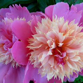 Two peonies by Snezana Petrovic - Nature Up Close Flowers - 2011-2013 ( in macro, and white, two, beautiful, pink, peonies )