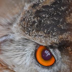 Eye Contact by Carla Maloco - Animals Birds ( bird of prey, owl, raptor, eagle owl,  )