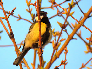 Photo: Priorslee Lake A singing Great Tit: even if it hadn't been singing the width of the 'zip' up its tummy identified this as a male. (Ed Wilson)