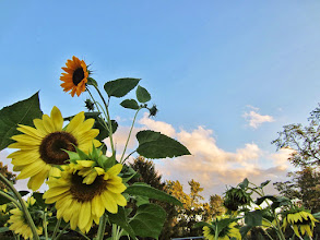 Photo: Sunflowers at sunset in Cox Arboretum and Gardens of Five Rivers Metroparks in Dayton, Ohio.