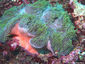 Photo: #014-Poisson-clown des Maldives dans son anémone sur le site de One Palm Reef.