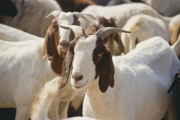 boer meat goats