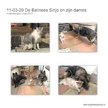Photo: Onze Balinees Sinjo met zijn Oudduitse Herders Angel & Aiki