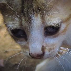 Kucing Liar by Edi Riyanto - Animals - Cats Kittens ( kitten, cat, s120, brown, cute )
