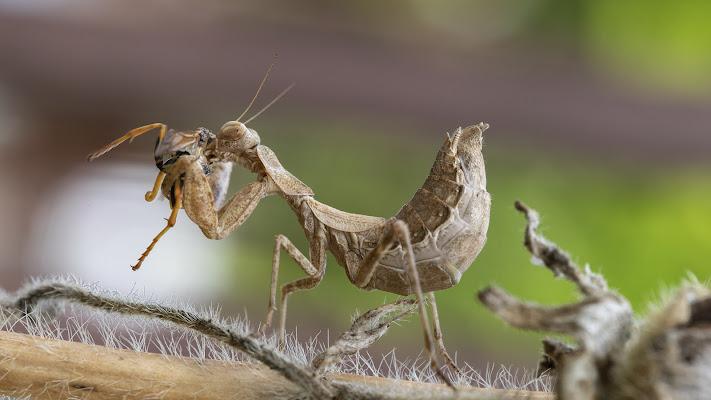 Ameles Spallanzania al pasto! (Entomofobia)