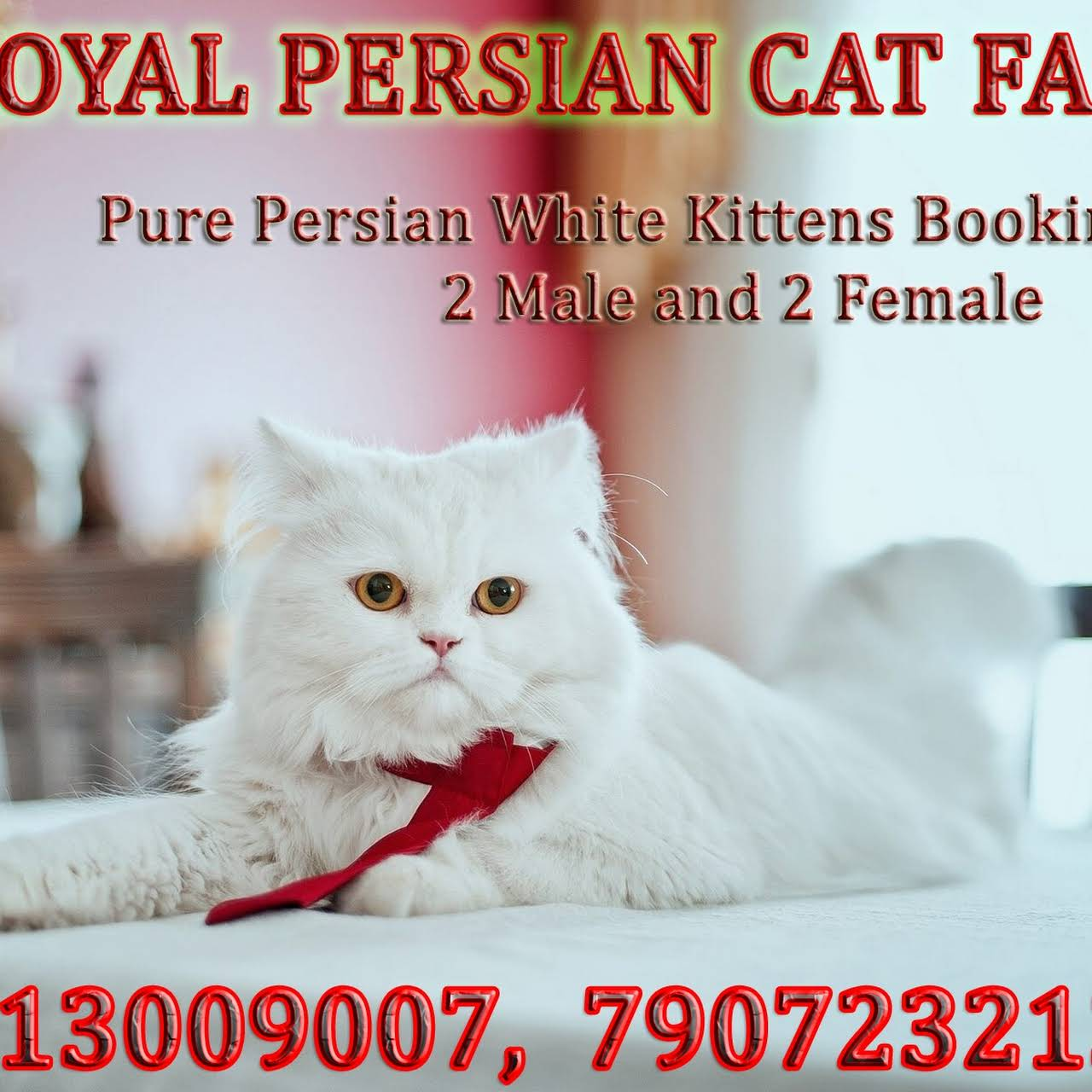 Royal Persian Cat Farm(Cattery) - High Quality Kittens in Low Price