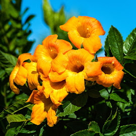 Orange Jubilee by Dave Lipchen - Flowers Single Flower ( orange jubilee )