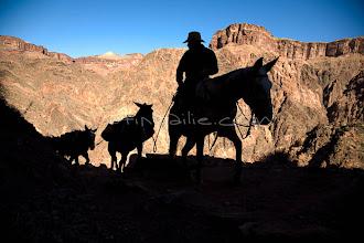 Photo: Mule team along the Grand Canyon. Grand Canyon NP, AZ.