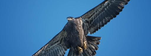 Bald Eagle (Haliaeetus leucocephalus), Juvenile, Quidi Vidi Harbour, St. John's, 2017/08/12