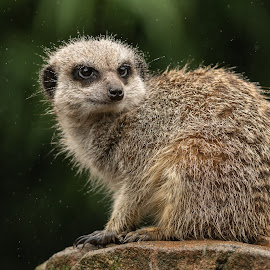 Meerkat by Barry Smith - Animals Other Mammals ( rain, mammals, nature, animals, meerkat )