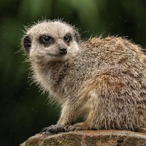 Meerkat by Barry Smith - Animals Other Mammals ( rain, mammals, nature, animals, meerkat )