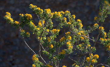 Photo: Medicago arborea (Fabaceae), Tree Medick