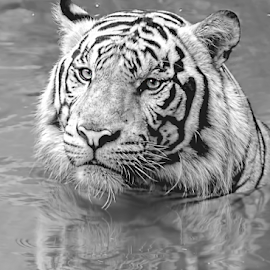 by Robert Cinega - Black & White Animals