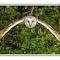 barn owl framed.jpg