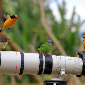 Resting in a good Perch !!! by Itamar Campos - Animals Birds ( morretes, coereba flaveola, euphonia violacea(male and female) and dacnis cayana(female), pwctaggedbirds, perching, brasil, pr )