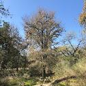 Texas Cedar Elm