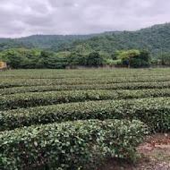 鵝山茶園有機農場