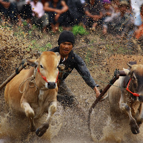 Pacu Jawi by Maki Sumawijaya - News & Events Sports ( jumping )