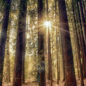 Sunset in the sequoias by Gary Parnell - Landscapes Forests ( sunset, trees, sequoia, forest, landscape )
