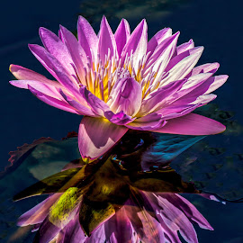 Reflections by Joan Sharp - Flowers Single Flower ( reflection, waterlily, purple, aquatic flowers, flowers,  )