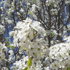 I love when our tree full of blooms. by Anna Cole - Instagram & Mobile Android ( tree, blooms, AnnaCole, Texas, white, spring, spring2019 )