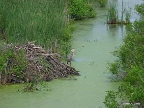 Photo: Beaver lodge and GB heron