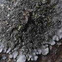 Coccocarpia Lichen