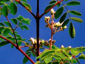 Photo: Moringa Tree Blossoms